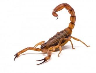 Escorpião todo cuidado é pouco.